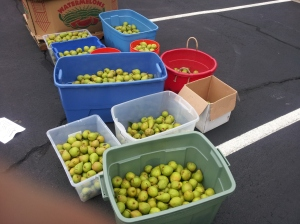 That's what we estimate 600 pounds of pears looks like